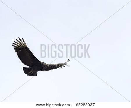 Black Vulture flying over New England farm wings high