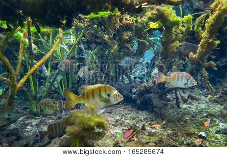 A school of Bluegill swim in their shallow-freshwater home among water lillys at Alesander Springs in central Florida.