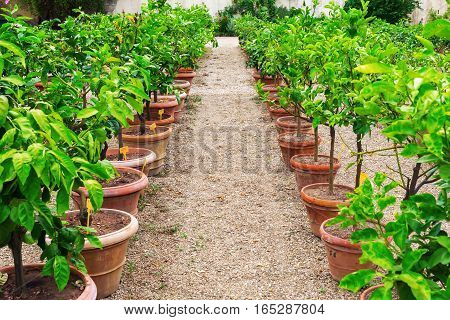 Rows Of Young Citrus Trees