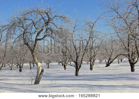 Frost covered tress and snow covered ground in  Michigan