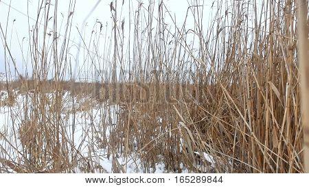 dry grass marsh winter reed beautiful landscape nature