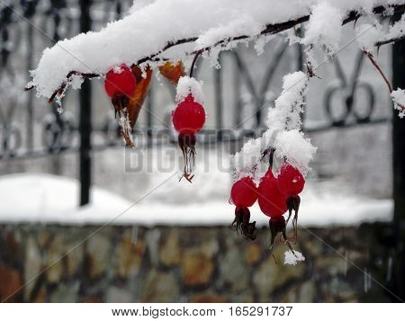 The berries of horse-hip  under the snow in the winter. The rose-hip is not afraid of the frost.