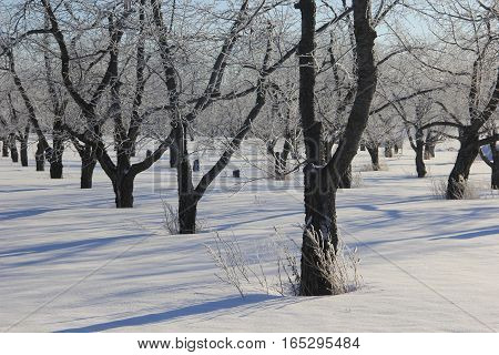 Rows of frost covered trees in Michigan