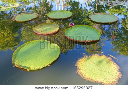 Giant Amazon water lily.Victoria Amazonica lotus in the pool
