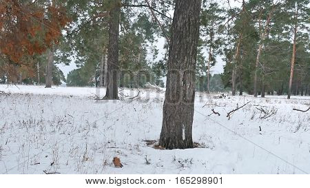 trees forest nature christmas tree, snow frost cold landscape winter