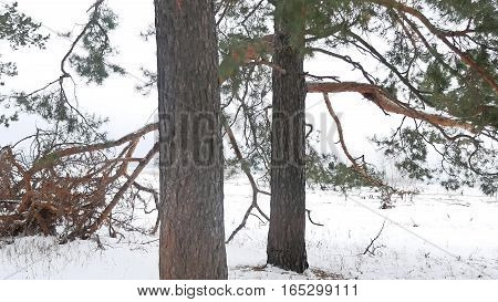 trees nature forest christmas tree, snow frost cold winter landscape