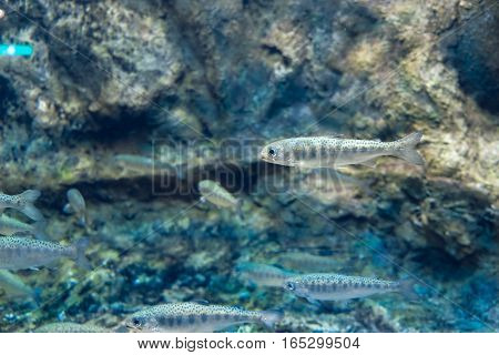 Many small salmon fish, underwater view, age 8 - 12 months, Selective focus one of them.