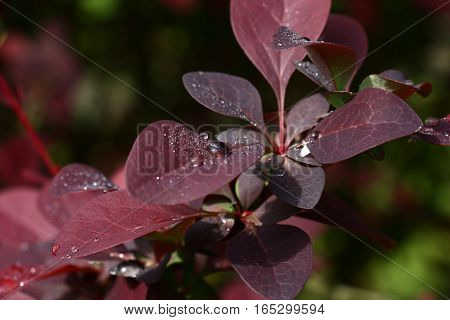 Dense young leaves of a barberry of claret tones are covered by drops of water after a rain.