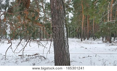 trees forest christmas tree, nature snow frost cold landscape winter