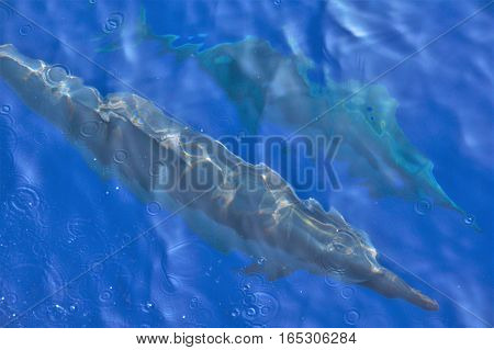 Abstract view of dolphins in a clear blue Hawaii sea