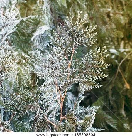 White cedar background. Closeup of white cedar brunch covered with hoar frost. Green leaf texture. Tiny green leaves background. Evergreen thuja tree with fresh snow. Winter natural background.