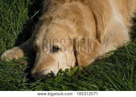 The dog breed golden retriever lying on the grass and looking ahead