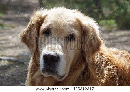 Close-up of a dog breed golden retriever head, looking at the camera