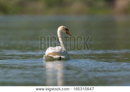Back view of mirrored mute swan (Cygnus olor)