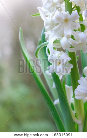 close on white petals of a hyacinth