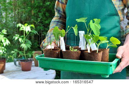 seedlings in cup holding bu a gardener