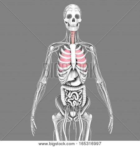 Lungs are an important part of the respiratory system.