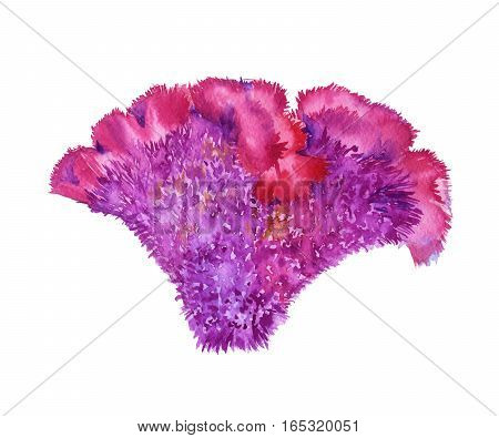 Flower celosia purple. Isolated on a white background. Watercolor illustration.