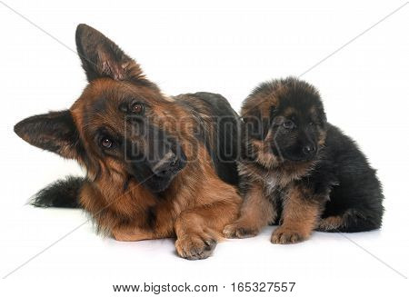 puppy and adult german shepherd in front of white background
