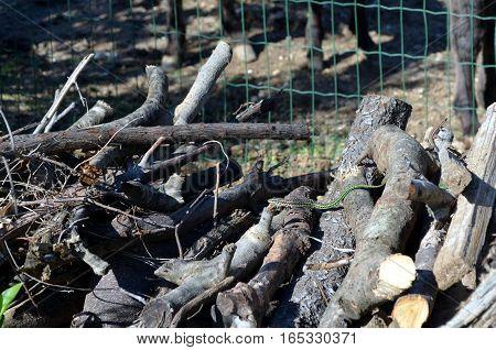 small Green Vine Snake Ahaetulla nasuta in a woodpile Chrysopelea ornata