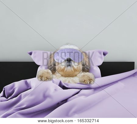 Adorable sleeping shitzu dog laying in a bed