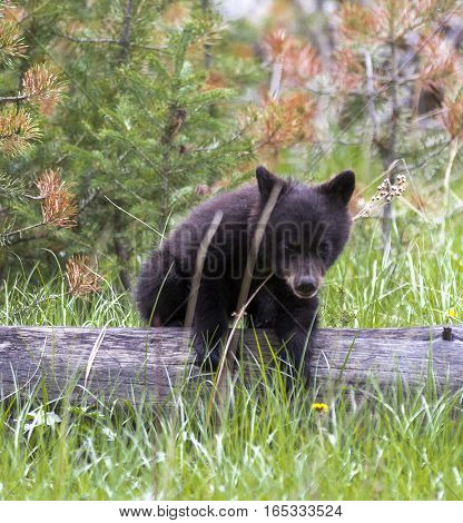 American Black Bear Cub In A Forest