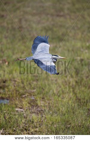 Grey Heron (Ardea cinerea) during flight with grass