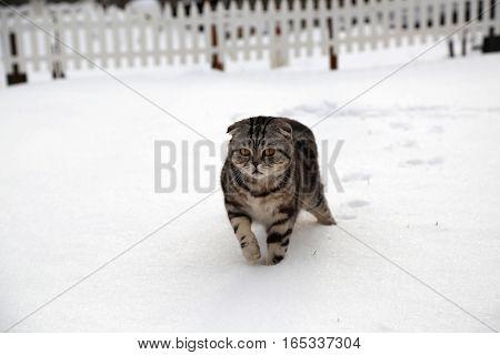 Cat in the snow / British Shorthair kitten