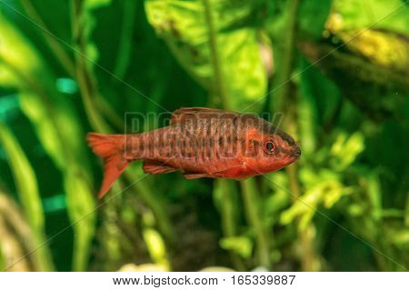 Portrait of freshwater barb fish (Puntius titteya) in aquarium