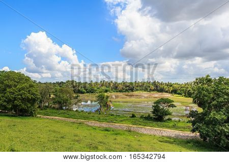 Close-up photograph of paddy fields with crops of rice in Sri Lanka