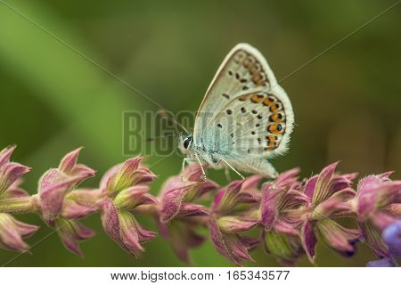 The silver-studded blue or Plebejus argus is a butterfly in the family Lycaenidae