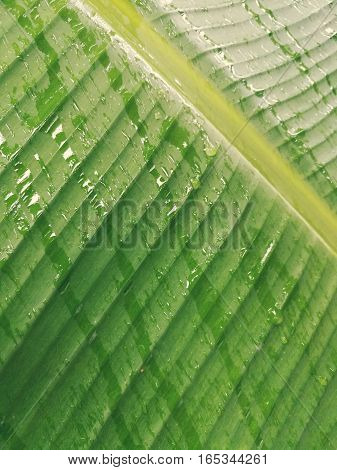 rain falling on banana leaf in the morning