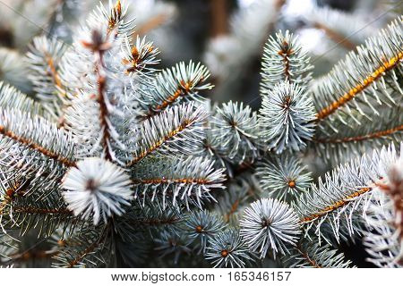 A lot of twigs of blue spruce