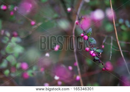 Pink berries and leaves on thin twigs