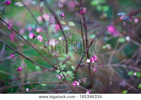 Pink berries and leaves on the thin twigs