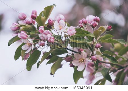 blooming apple tree. Pink delicate flowers and buds