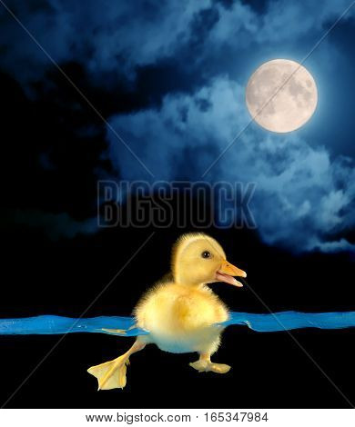 swimming nestling of duck on moon background