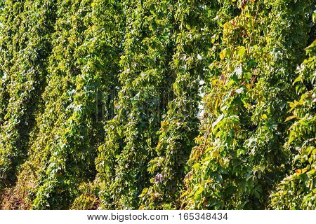 mature hops plants in the bright sunshine