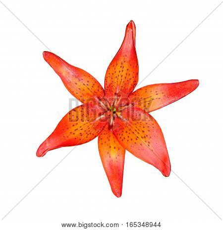 the lila flower  isolated on white background