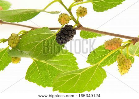 a plump blackberry with leaves isolated on a white background
