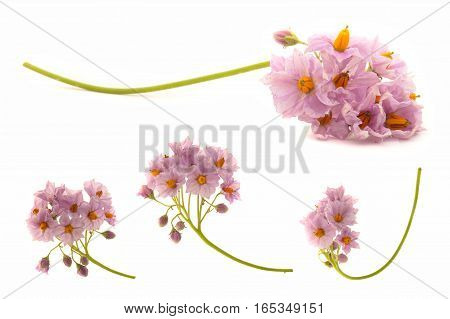 Flowers Of Potato