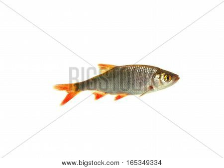 fish roach isolated on a white background