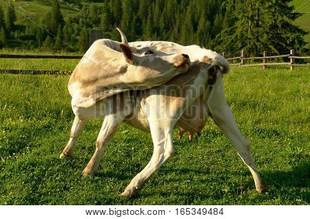 the big cow on a green background