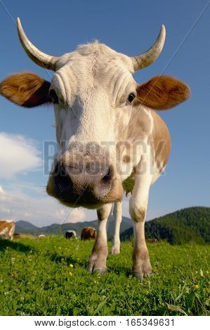 big cow on a  background blue sky