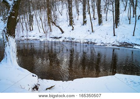animal life in the winter wild ducks swimming on the river