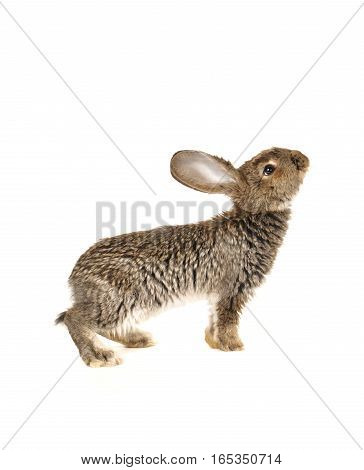 the grey rabbit  isolated on white background