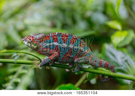 Macro of panther chameleon (Furcifer pardalis) from Madagascar