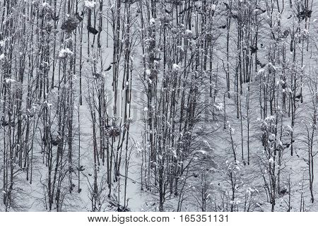 Many trunks of trees of forest in winter
