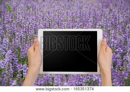 human's hand hold blank of screen smartphone tablet cell phone on blurry violet forget me not flower. concept of travel.