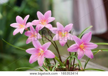 Springtime landscape, pink violet colorful flowers Zephyranthes. elegance plants concept. soft focus